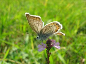 1083109_little_butterfly_5